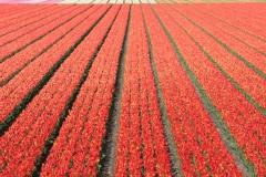7.Czerwone tulipany