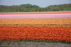 8.Różnokolorowe tulipany