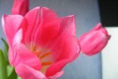 1.tulipan