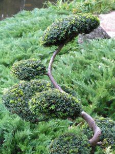 jap_bonsai.JPG