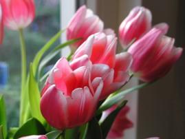 dz_tulipcie.JPG