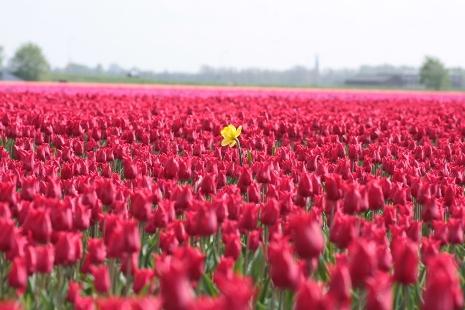 Żonkil pośród tulipanów