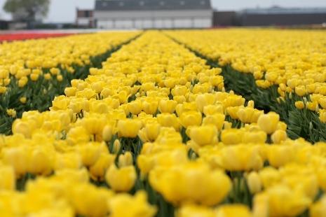 Dywan z żółtych tulipanów